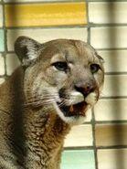 Puma-concolor-missoulensis4