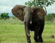 African bush elephant1