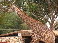 Giraffa-camelopardalis-giraffa6