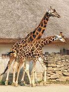 Giraffa-camelopardalis-rothschildi3