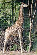 Giraffa-camelopardalis6
