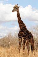 Giraffa-camelopardalis-giraffa4