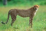 Cheetah In South African National Park 600