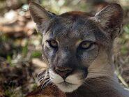 Puma-concolor5