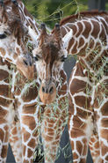 Reticulated Giraffe LG