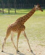 Giraffa-camelopardalis-antiquorum4