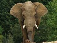 Loxodonta-africana-africana7