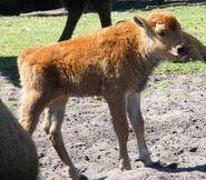 Bison-bison-bison5
