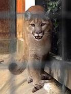 Puma-concolor-missoulensis3