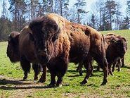 Bison-bison1