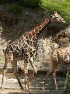 Giraffa-camelopardalis-angolensis5