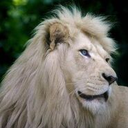 14788-animal-club-lion
