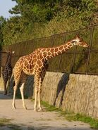 Giraffa-camelopardalis-reticulata1
