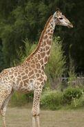 Giraffa-camelopardalis-giraffa3