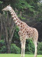 Giraffe, Reticulated