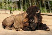 Bison-bison-bison1