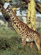 Giraffe 549 600x450