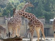 Giraffa-camelopardalis-reticulata7