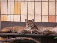 Puma-concolor-missoulensis1
