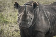 Black-rhino.jpg.653x0 q80 crop-smart