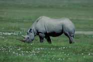 Black Rhinoceros Grazing