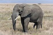 African Bush Elephant with Penis