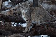 Lynx Rufus bobcat 23 Feb 2011 Yosemite