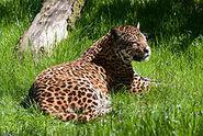 Cat-jaguar