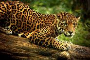 Beautiful-jaguar