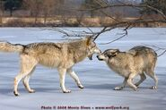 Wolves..p
