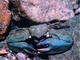 New Zealand Half Crab