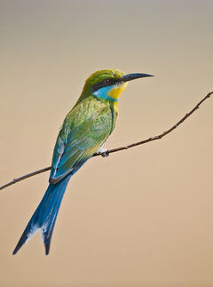 95-swallow-tailed-bee-eater-merops-hirundineus-by-africaddict