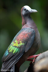 New Guinea Bronzewing