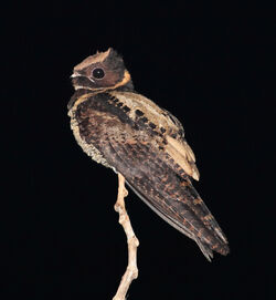 Great Eared-Nightjar, Tangkoko, Sulawesi (5799113025) (2)
