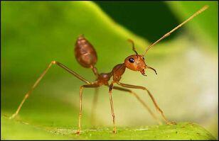 Weaver-ant