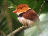 Collared Puffbird