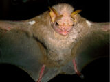 Wrinkle-faced Bat