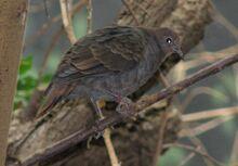 White-throated Ground Dove Female 89