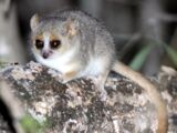 Reddish-gray Mouse Lemur