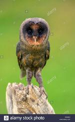 Sao-tome-barn-owl-tyto-thomensis-FHE930