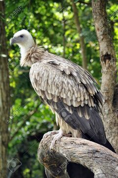10557160-The-Himalayan-Griffon-Vulture-is-even-larger-than-the-European-Griffon-Vulture-It-has-a-white-neck-r-Stock-Photo