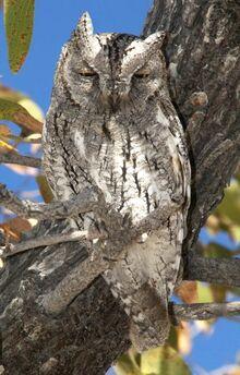 African Scopes-owl Otus senegalensis