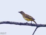 Yellow-breasted Bowerbird