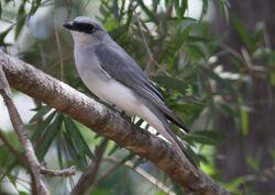 White-bellied Cuckoo-Shrike AT MP copy