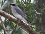 White-bellied Cuckooshrike