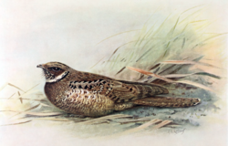 Jamaican Poorwill