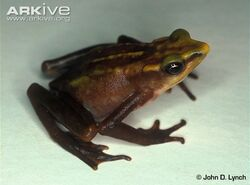 Lynchs-stubfoot-toad