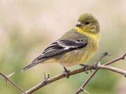 Immature Female Lesser Goldfinch