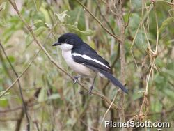 Tropical-boubou-(laniarius-major)