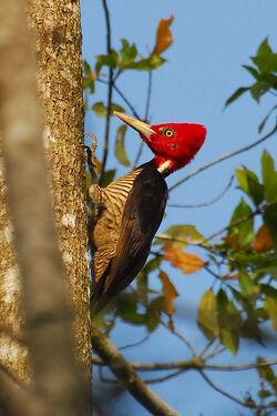 Pale-billed woodpecker001